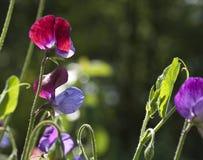 Ervilha doce, odorata do Lathyrus Foto de Stock