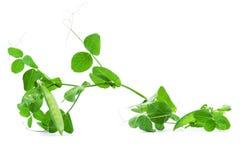 Ervilha verde isolada no fundo branco Fotografia de Stock