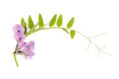 Ervilhaca adornada isolada no fundo branco Fotografia de Stock Royalty Free
