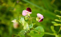 Ervilhas de florescência Fotos de Stock