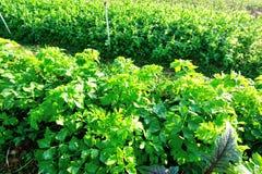 Ervilhas frescas e aipo no crescimento no jardim vegetal Fotos de Stock