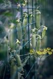 Ervilhas novas macias verdes foto de stock