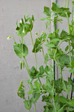 Ervilhas verdes da mola que crescem o vertical do close up fotos de stock royalty free