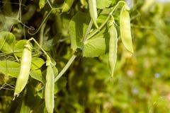 Ervilhas verdes em ramos fotografia de stock royalty free