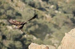 Erwachsene Adlerlandung auf den Felsen Stockbild