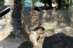Erwachsene Affen sitzt und Lebensmittel mit Affebaby im Park essend Lizenzfreie Stockfotografie