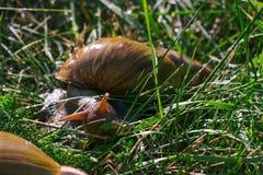 Erwachsene afrikanische achatina Schnecken isst grünes Gras draußen Stockfotos