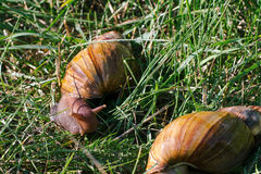 Erwachsene afrikanische achatina Schnecken isst grünes Gras draußen Stockbild