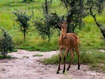 Erwachsene Antilope ist eine Stockbild