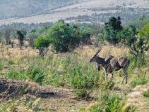 Erwachsene Antilope steht aus den Grund  Stockbild