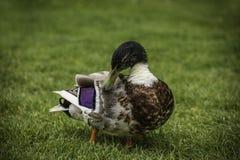 Erwachsene Ente auf Gras im Park Stockfotos