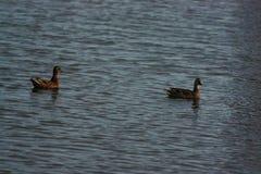 Erwachsene Enten auf dem Wasser Lizenzfreies Stockbild