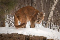 Erwachsene Frau-Puma-Puma concolor auf Felsen leckt Tatze Stockfotos