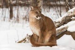 Erwachsene Frau-Puma-Puma concolor schaut mit besorgtem Exp recht stockfotos