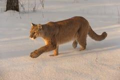 Erwachsene Frau-Puma-Puma concolor Stallks verließ stockbild