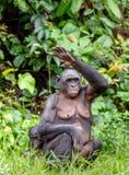 Erwachsene Frau von Bonobo mit Jungem Lizenzfreie Stockfotos