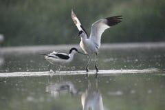 Erwachsene gescheckter Avocet kämpfen mit, das einander, spritzt Wasser in der Luft lizenzfreie stockfotos