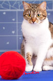 Erwachsene getigerte Katze Lizenzfreie Stockfotografie