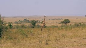 Erwachsene Giraffe in afrikanischen Savannah Looking At Camera stock video footage