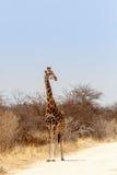 Erwachsene Giraffe auf der Straße Stockbilder