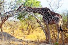 Erwachsene Giraffe, die auf Baum weiden lässt Stockfoto
