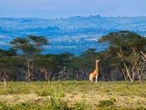 Erwachsene Giraffe, die Blätter auf einem Baum isst Stockfotos