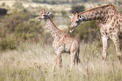 Erwachsene Giraffe mit Kalb Lizenzfreie Stockfotos
