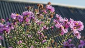 Erwachsene Honigbiene, die eine purpurrote Blume bestäubt stock footage