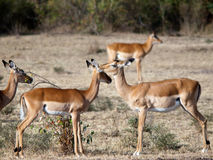 Erwachsene Impala küsst ihr Kind. Lizenzfreie Stockbilder