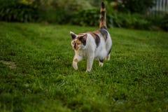 Erwachsene Kalikokatze, die in Gras im Hinterhof läuft Lizenzfreies Stockfoto