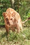 Erwachsene Löwefrau stockfotografie
