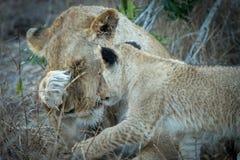 Erwachsene Löwin und kleine Jungsinteraktion lizenzfreies stockfoto