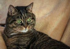 Erwachsene nicht reinrassige weibliche Katze, enorme grüne Augen und eine gestreifte Farbe lizenzfreie stockfotos