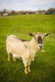 Erwachsene rothaarige Ziege, die in einer Wiese weiden lässt stockbilder