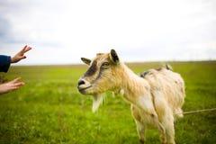 Erwachsene rothaarige Ziege, die in einer Wiese weiden lässt Stockfotografie