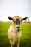 Erwachsene rothaarige Ziege, die in einer Wiese weiden lässt Lizenzfreies Stockbild