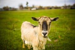 Erwachsene rothaarige Ziege, die in einer Wiese weiden lässt stockfotos