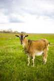 Erwachsene rothaarige Ziege, die in einer Wiese weiden lässt stockfoto