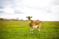 Erwachsene rothaarige Ziege, die in einer Wiese weiden lässt Lizenzfreies Stockfoto