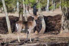 Erwachsene Rotwild im Wald Stockfotos