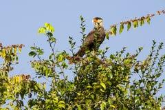 Erwachsene südliche Schopfkarakara, die von einem Treetop steht und nennt Lizenzfreie Stockfotografie