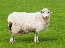 Erwachsene Schafe auf der Weide - Oviswidder Stockbilder