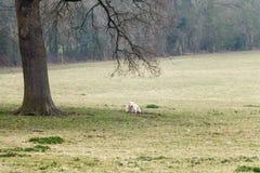 Erwachsene Schafe, die unter einem Baum auf einem Gebiet des Grases stillstehen Stockfotos