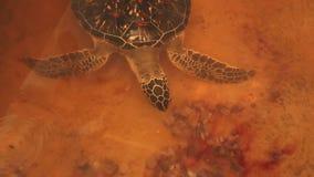 Erwachsene Schildkrötenschwimmen im Pool im Naturschutzgebiet in Sri Lanka stock footage