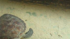 Erwachsene Schildkrötenschwimmen im Pool im Naturschutzgebiet in Sri Lanka stock video footage