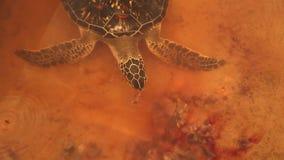 Erwachsene Schildkrötenschwimmen im Pool im Naturschutzgebiet in Sri Lanka stock video
