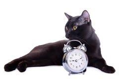 Erwachsene schwarze Katze Stockfotos