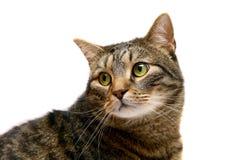 Erwachsene Tabbykatze auf Weiß Lizenzfreies Stockfoto