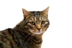 Erwachsene Tabbykatze auf Weiß Stockbild