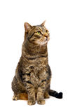 Erwachsene Tabbykatze auf Weiß Stockfotografie